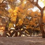 Ejin Huyang Forest: The Spirit of Desert