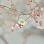 Three Variations on Plum Blossom: Clear Flower Clear Music Clear Moral