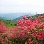 Red Flowers Blooming All Over the Mountain